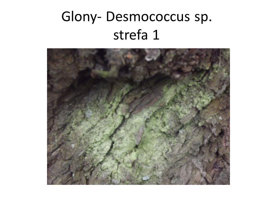 Glony- Desmococcus sp. strefa 1