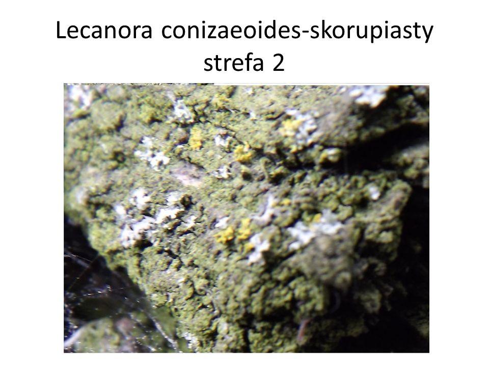 Lecanora conizaeoides-skorupiasty strefa 2