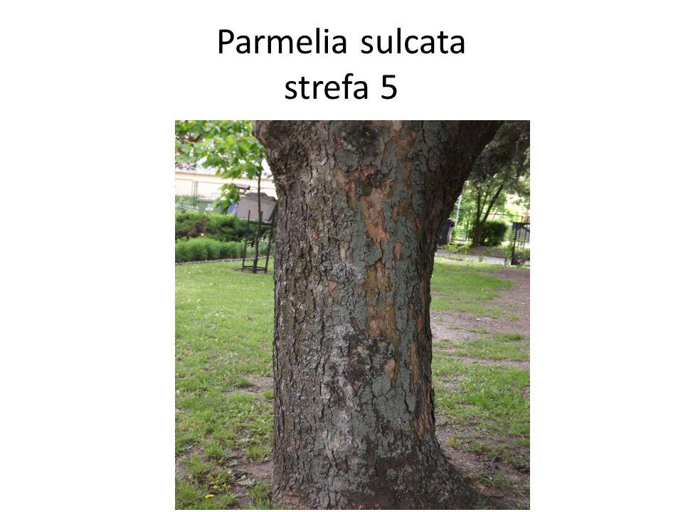 Parmelia sulcata strefa 5