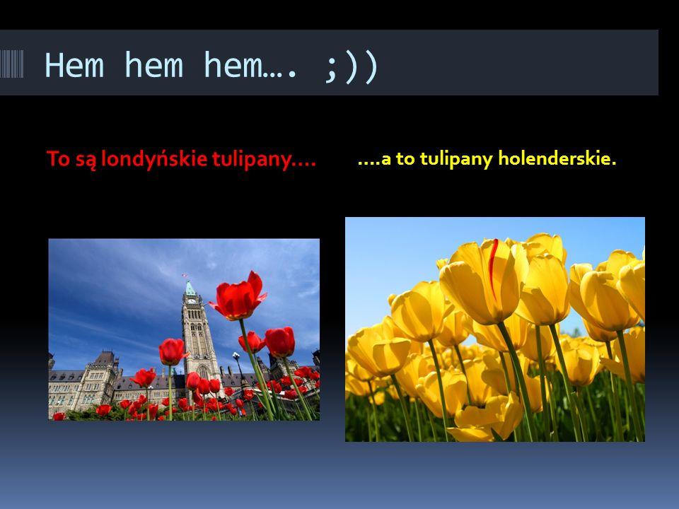 Hem hem hem…. ;)) To są londyńskie tulipany…. ….a to tulipany holenderskie.