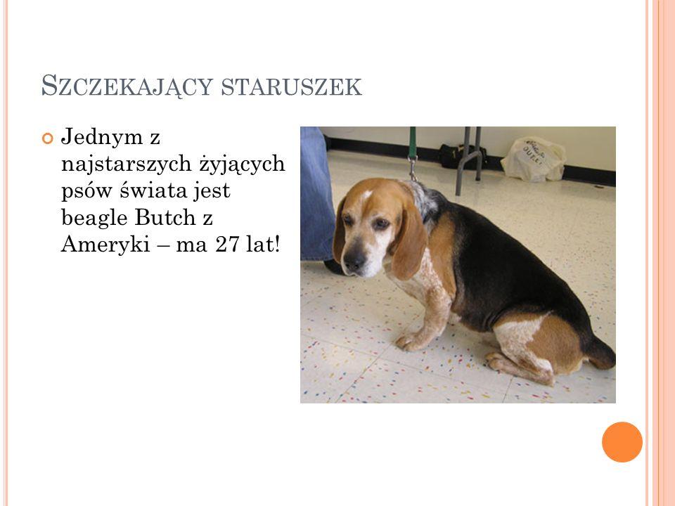S ZCZEKAJĄCY STARUSZEK Jednym z najstarszych żyjących psów świata jest beagle Butch z Ameryki – ma 27 lat!