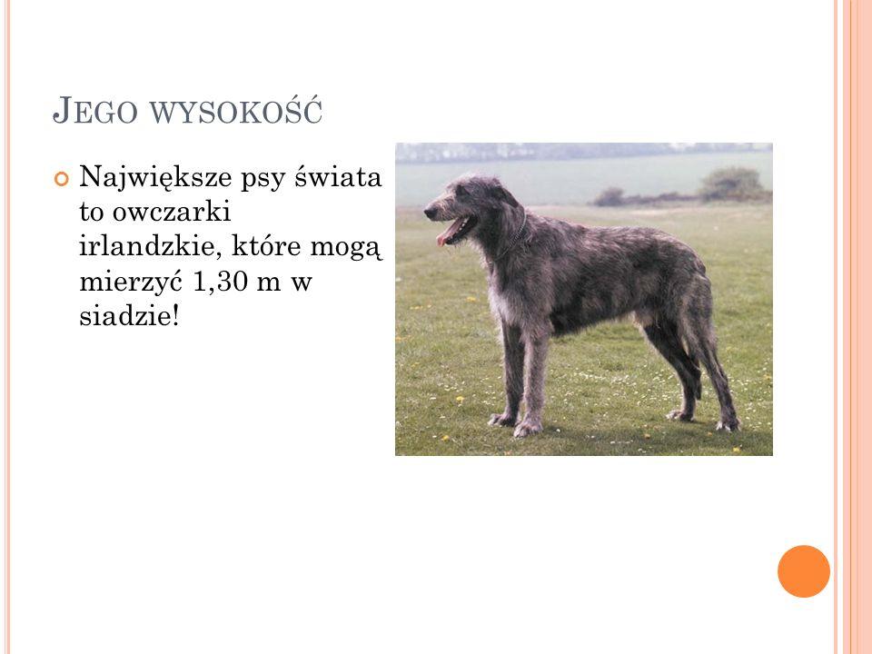 J EGO WYSOKOŚĆ Największe psy świata to owczarki irlandzkie, które mogą mierzyć 1,30 m w siadzie!