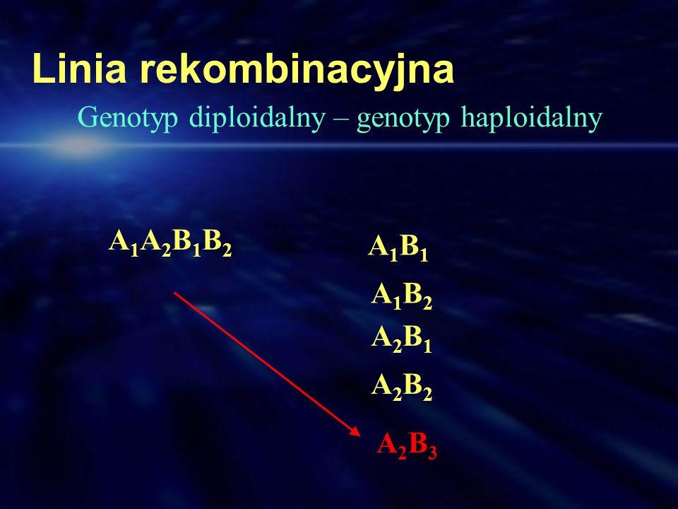 Linia rekombinacyjna A1A2B1B2A1A2B1B2 A1B1A1B1 A1B2A1B2 A2B1A2B1 A2B2A2B2 A2B3A2B3 Genotyp diploidalny – genotyp haploidalny