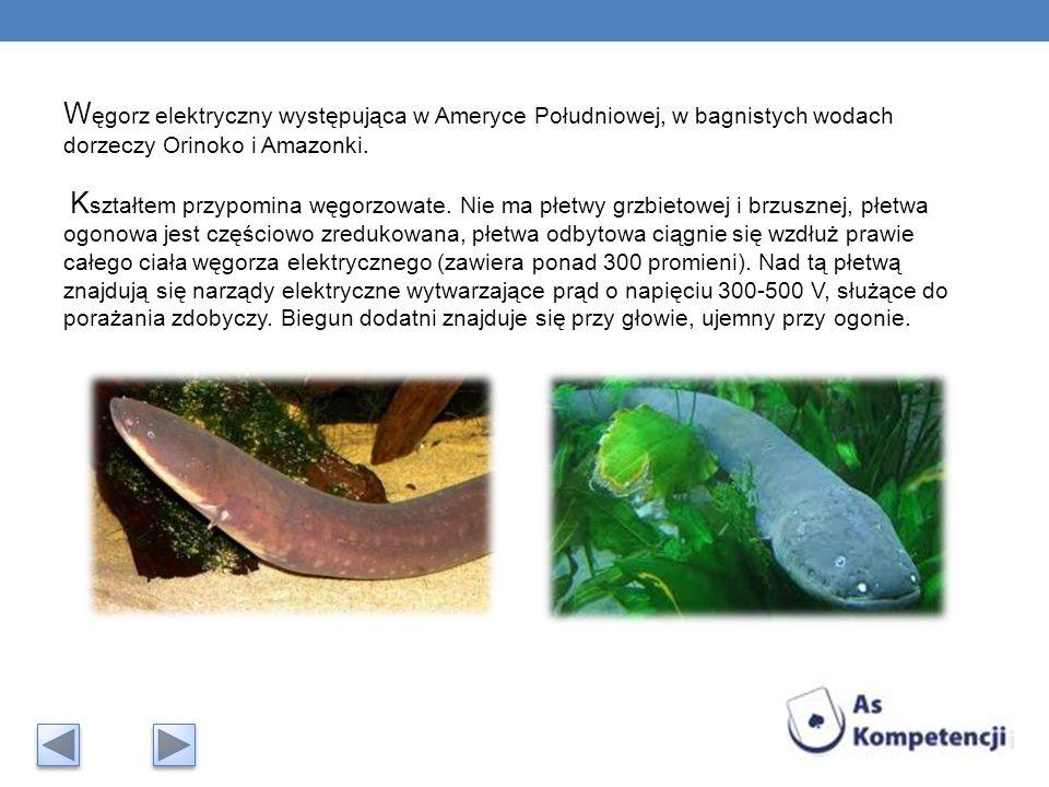 W ęgorz elektryczny występująca w Ameryce Południowej, w bagnistych wodach dorzeczy Orinoko i Amazonki. K ształtem przypomina węgorzowate. Nie ma płet