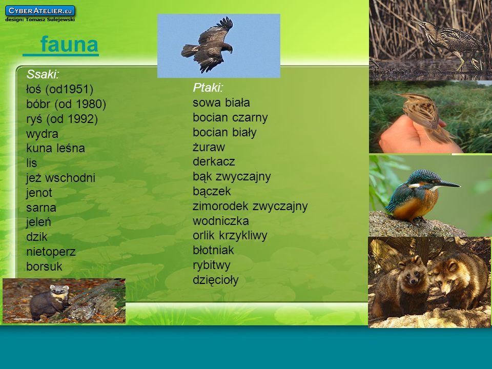 fauna Ssaki: łoś (od1951) bóbr (od 1980) ryś (od 1992) wydra kuna leśna lis jeż wschodni jenot sarna jeleń dzik nietoperz borsuk Ptaki: sowa biała boc