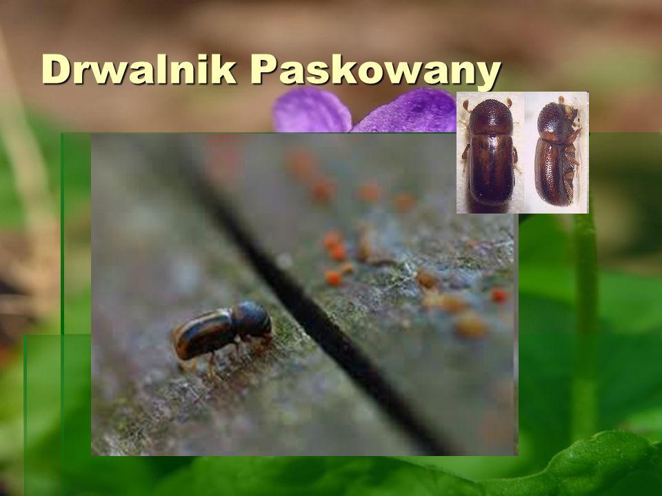 Drwalnik Paskowany