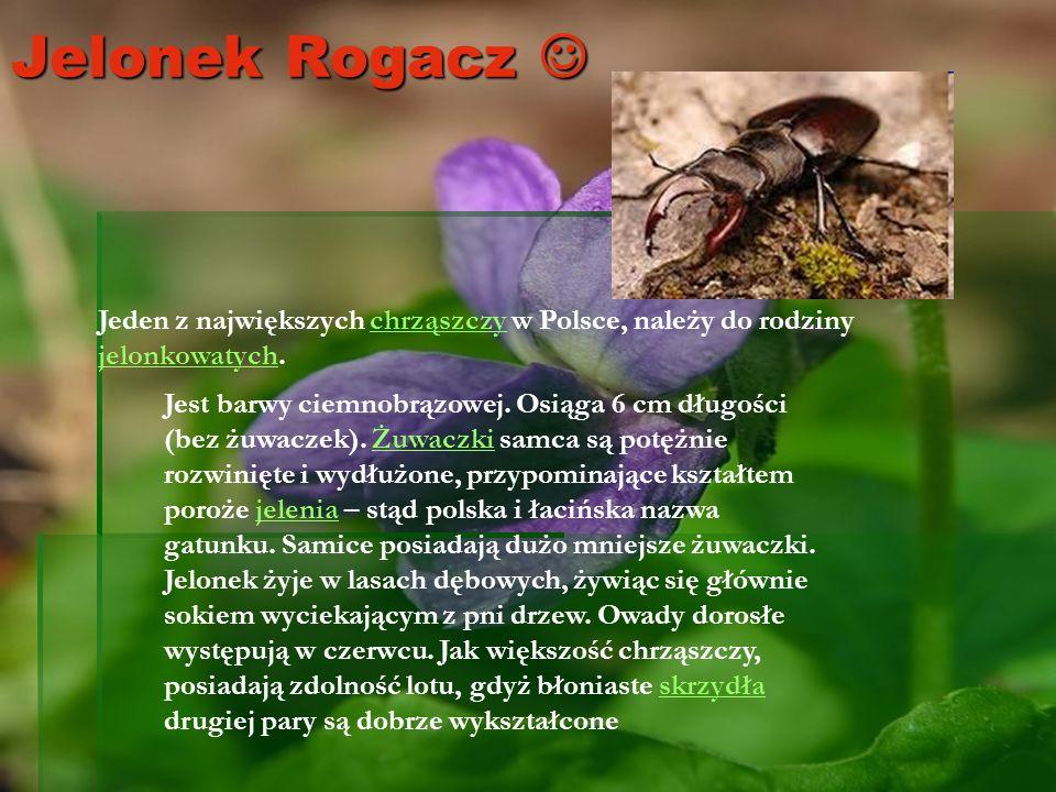 Jelonek Rogacz Jelonek Rogacz Jeden z największych chrząszczy w Polsce, należy do rodziny jelonkowatych.chrząszczy jelonkowatych Jest barwy ciemnobrąz