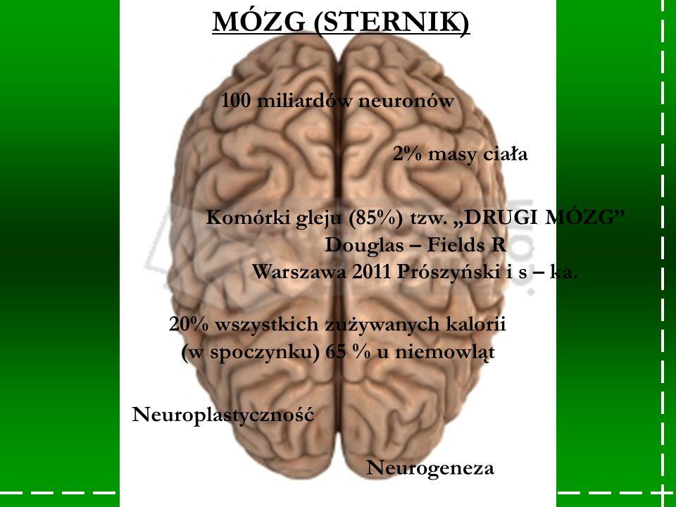 MÓZG (STERNIK) 100 miliardów neuronów 2% masy ciała 20% wszystkich zużywanych kalorii (w spoczynku) 65 % u niemowląt Neuroplastyczność Neurogeneza Kom