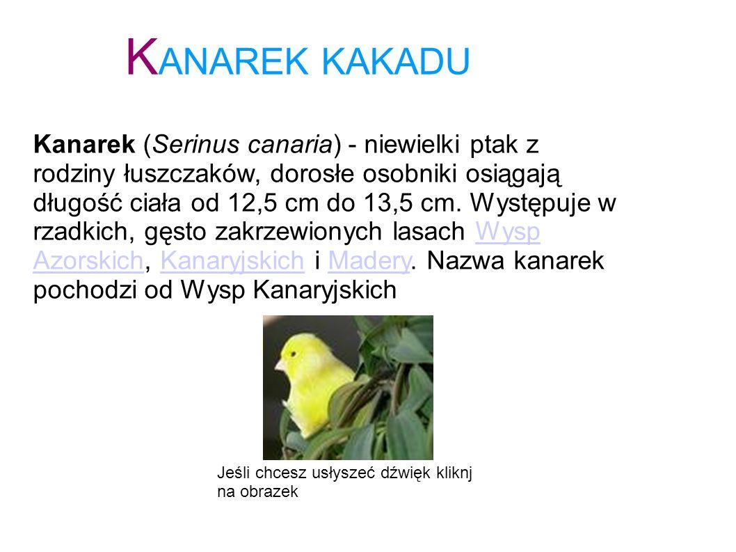 K ANAREK KAKADU Kanarek (Serinus canaria) - niewielki ptak z rodziny łuszczaków, dorosłe osobniki osiągają długość ciała od 12,5 cm do 13,5 cm. Występ