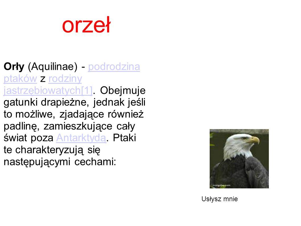orzeł Orły (Aquilinae) - podrodzina ptaków z rodziny jastrzębiowatych[1]. Obejmuje gatunki drapieżne, jednak jeśli to możliwe, zjadające również padli