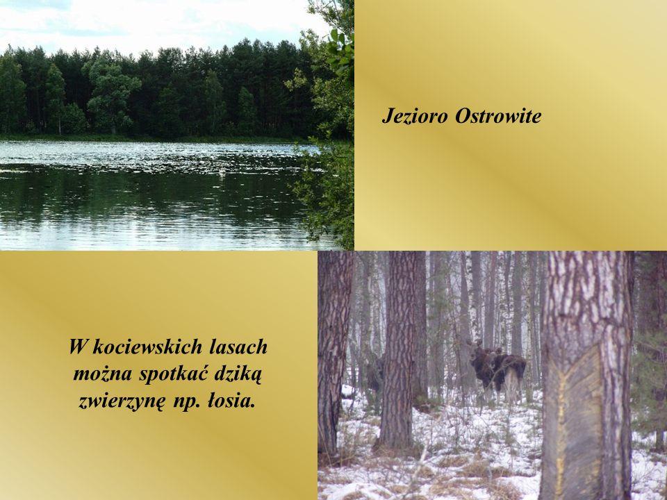 Jezioro Ostrowite W kociewskich lasach można spotkać dziką zwierzynę np. łosia.