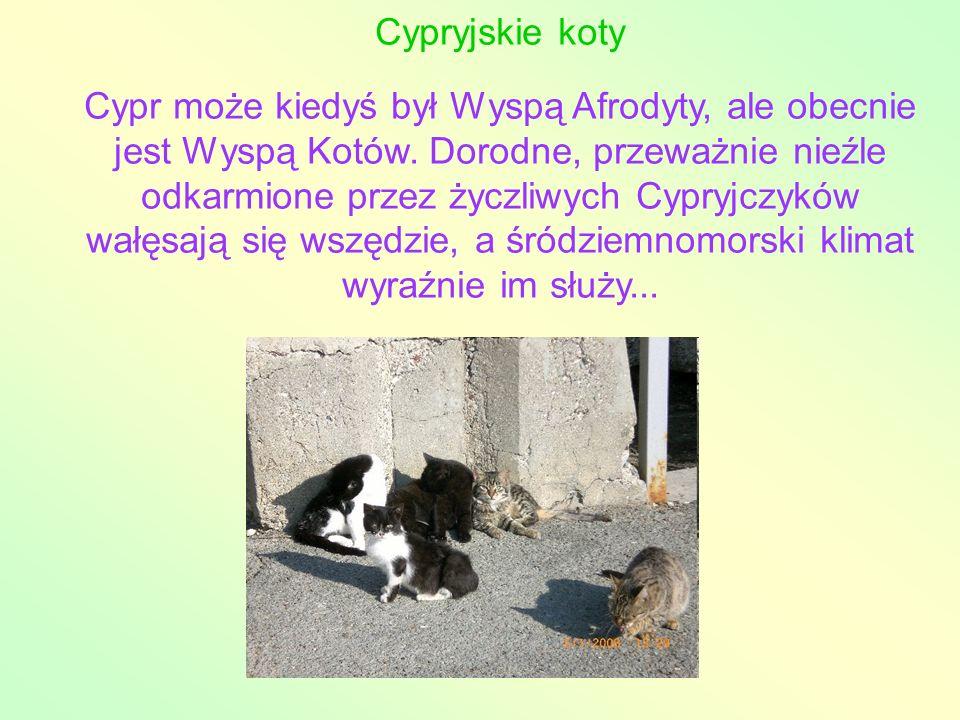 Cypryjskie koty Cypr może kiedyś był Wyspą Afrodyty, ale obecnie jest Wyspą Kotów. Dorodne, przeważnie nieźle odkarmione przez życzliwych Cypryjczyków