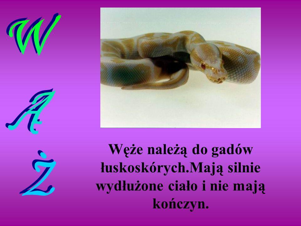Węże należą do gadów łuskoskórych.Mają silnie wydłużone ciało i nie mają kończyn.