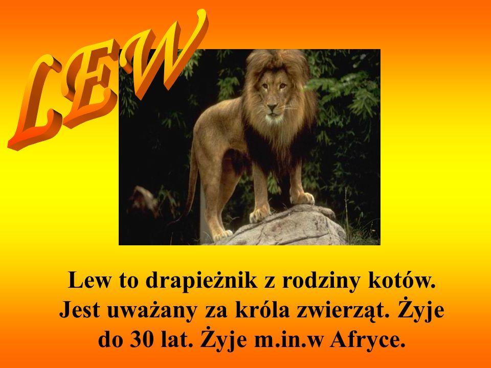 Lew to drapieżnik z rodziny kotów. Jest uważany za króla zwierząt. Żyje do 30 lat. Żyje m.in.w Afryce.