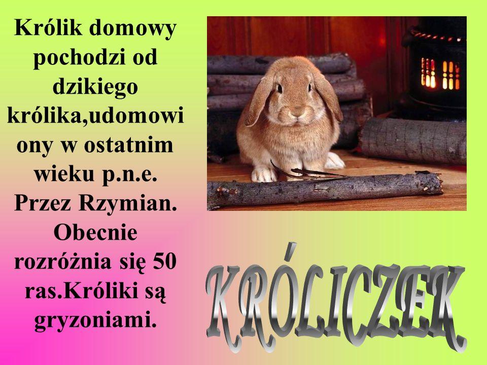 Królik domowy pochodzi od dzikiego królika,udomowi ony w ostatnim wieku p.n.e. Przez Rzymian. Obecnie rozróżnia się 50 ras.Króliki są gryzoniami.