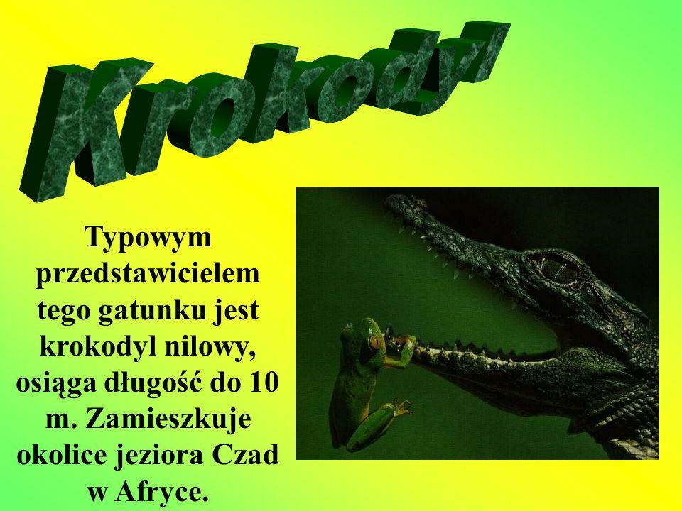 Typowym przedstawicielem tego gatunku jest krokodyl nilowy, osiąga długość do 10 m. Zamieszkuje okolice jeziora Czad w Afryce.