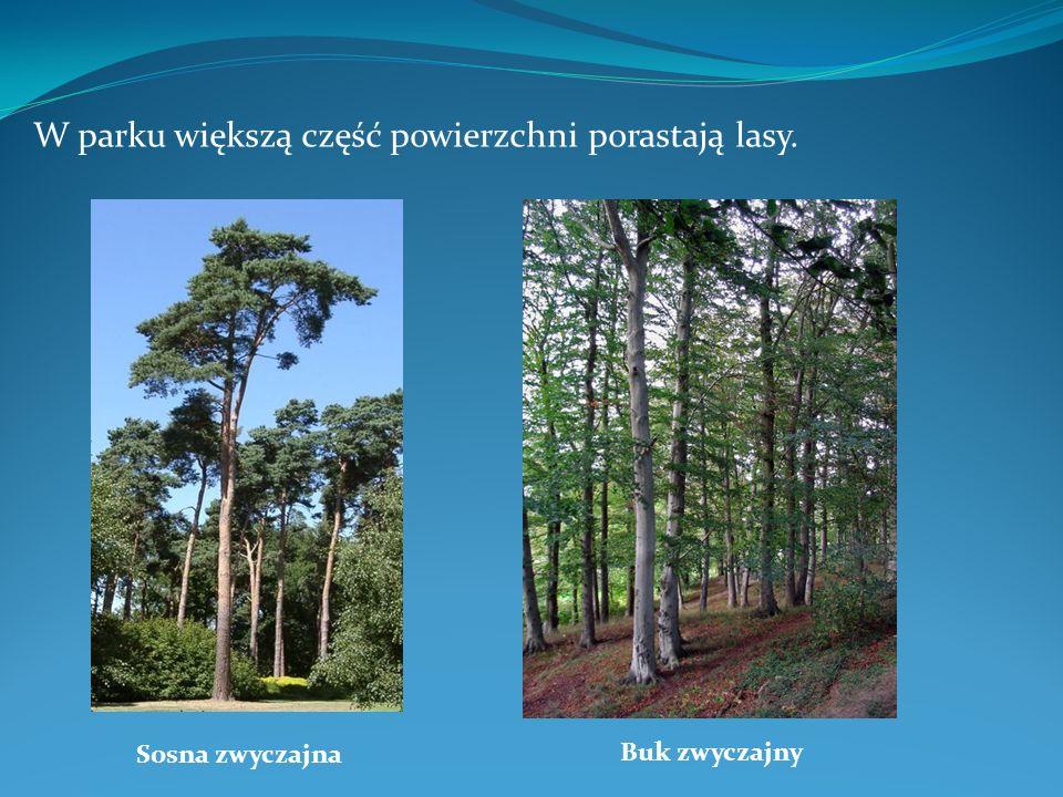 W parku większą część powierzchni porastają lasy. Sosna zwyczajna Buk zwyczajny