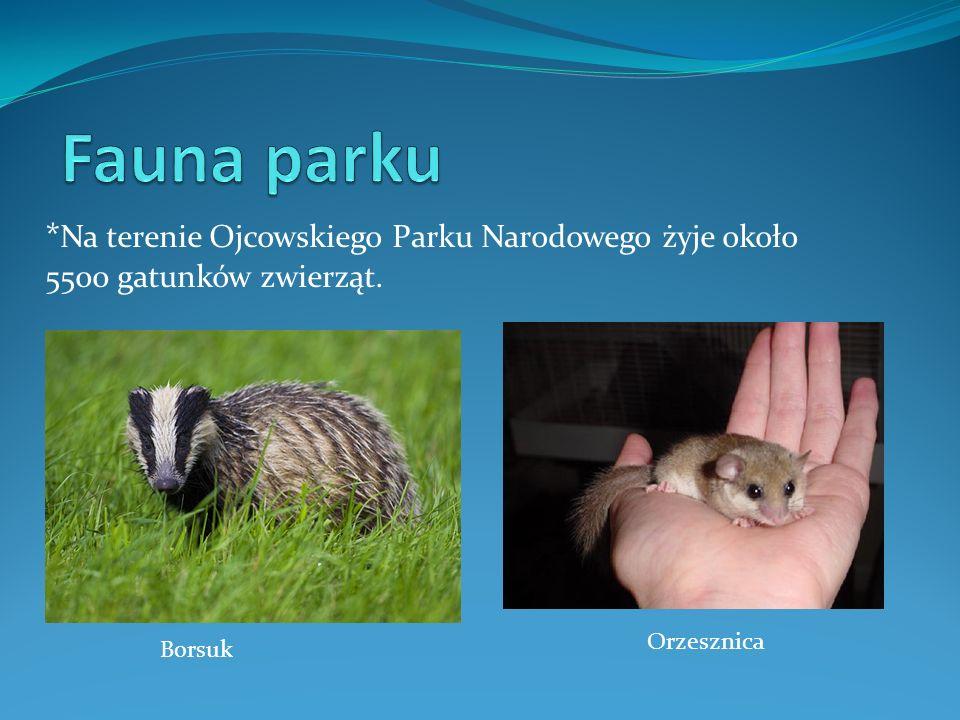 * Na terenie Ojcowskiego Parku Narodowego żyje około 5500 gatunków zwierząt. Orzesznica Borsuk