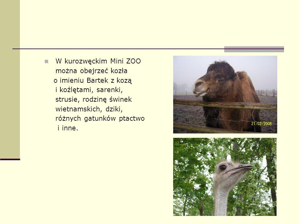 W kurozwęckim Mini ZOO można obejrzeć kozła o imieniu Bartek z kozą i koźlętami, sarenki, strusie, rodzinę świnek wietnamskich, dziki, różnych gatunkó