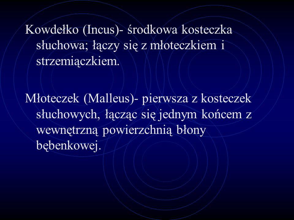 Wyjaśnienia Małżowina uszna- (Auricula) kształt małżowiny pomaga przenosić fale głosowe od przewodu słuchowego zewnętrznego; Pomaga też zlokalizować ź