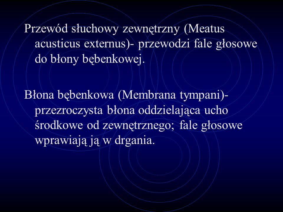Strzemiączko (Stapes)- ostatnia z kosteczek słuchowych, połączona z kowadełkiem; jego podstawa zamyka okienko owalne. Ślimak (Cochlea)- kanał kostny w