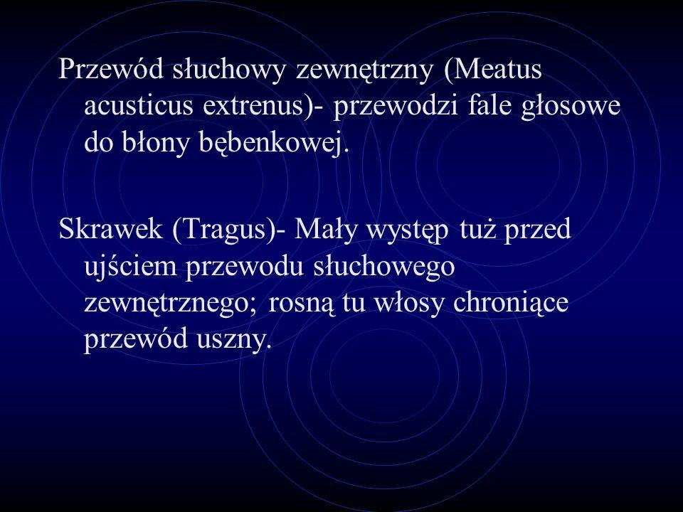 Wyjaśnienia Obrąbek (Helix)- zaokrąglona zewnętrzna krawędź chrząstki. Dolna odnoga grąbelki- znajduje się powyżej górnej części muszli małżowiny. Dół