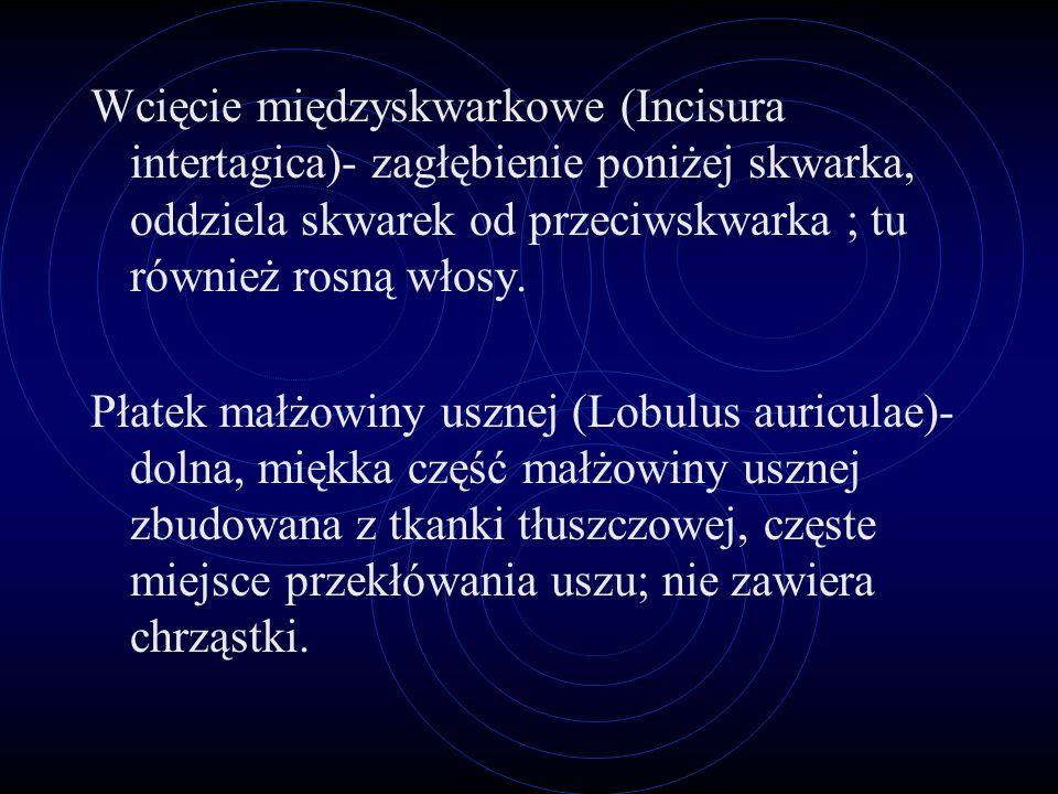 Przewód słuchowy zewnętrzny (Meatus acusticus extrenus)- przewodzi fale głosowe do błony bębenkowej. Skrawek (Tragus)- Mały występ tuż przed ujściem p