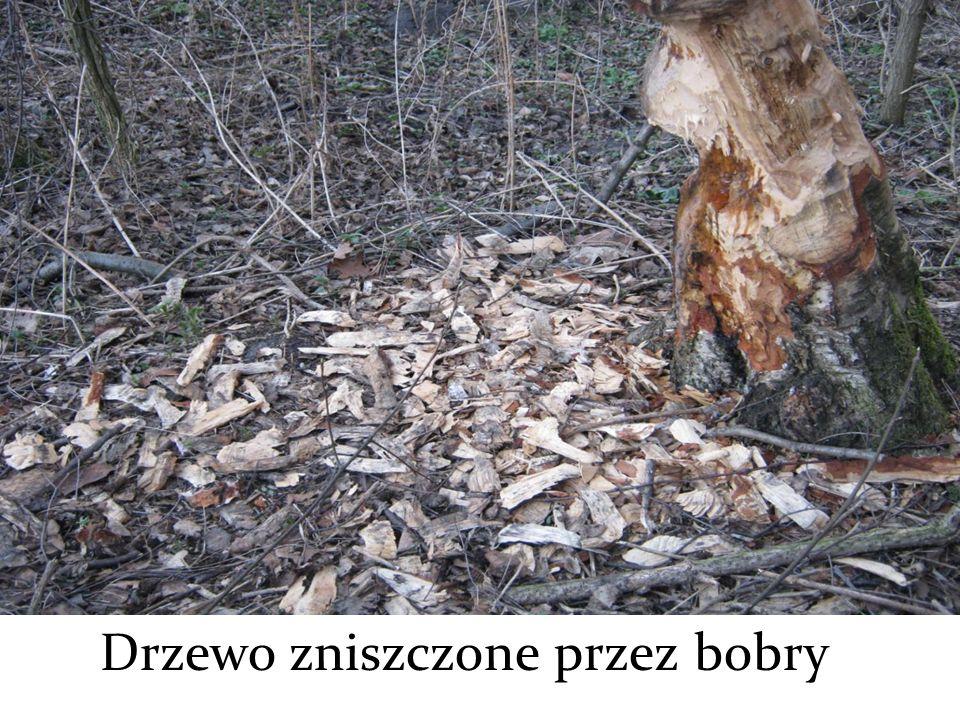 Drzewo zniszczone przez bobry