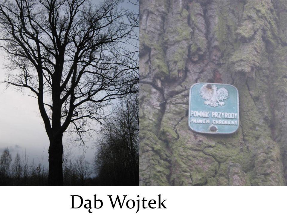 Dąb Wojtek