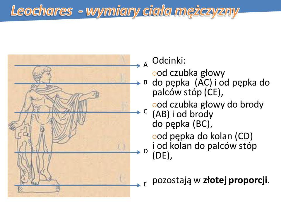Odcinki: od czubka głowy do pępka (AC) i od pępka do palców stóp (CE), od czubka głowy do brody (AB) i od brody do pępka (BC), od pępka do kolan (CD) i od kolan do palców stóp (DE), pozostają w złotej proporcji.
