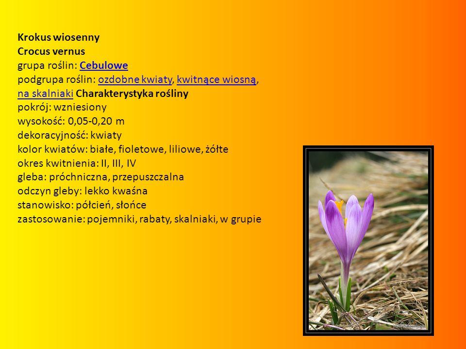 Krokus wiosenny Crocus vernus grupa roślin: CebuloweCebulowe podgrupa roślin: ozdobne kwiaty, kwitnące wiosną, na skalniaki Charakterystyka roślinyozd