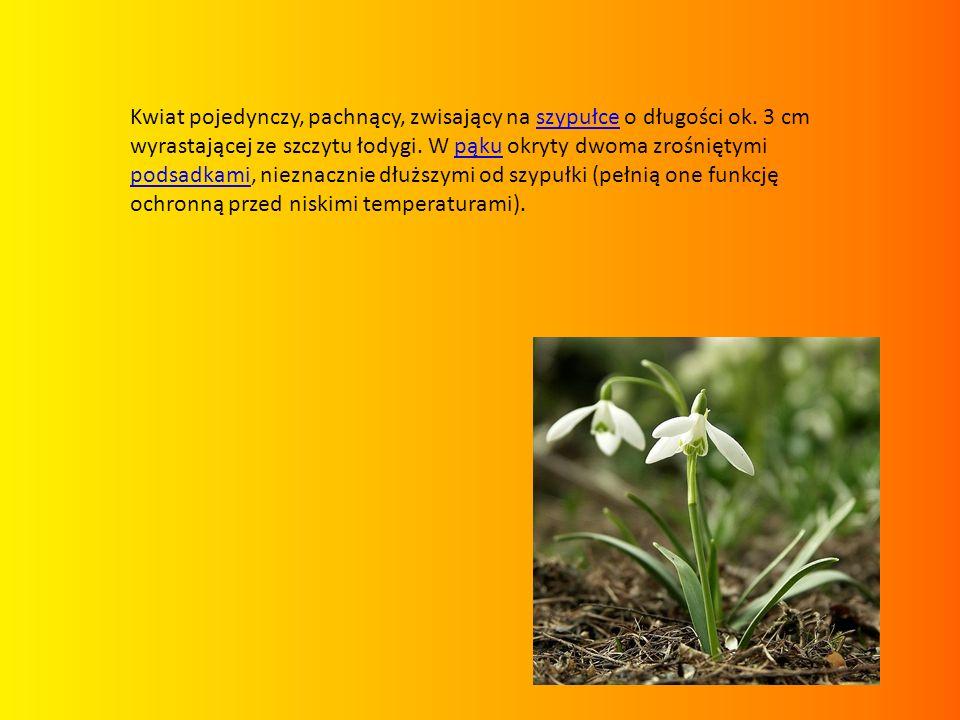 Kwiat pojedynczy, pachnący, zwisający na szypułce o długości ok. 3 cm wyrastającej ze szczytu łodygi. W pąku okryty dwoma zrośniętymi podsadkami, niez