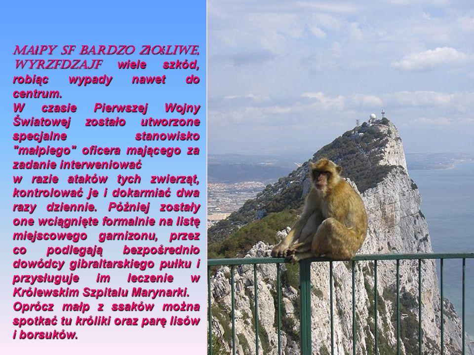 Macaca sylvanus Terytorium Gibraltaru jest jedynym w Europie miejscem występowania makaków na wolności. Populacja żyjąca tutaj, liczy ok. 200 osobnikó