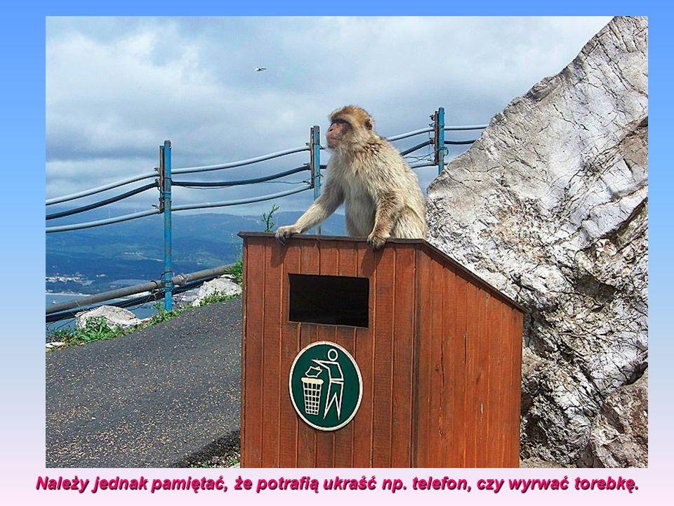 Stanowią one ogromną atrakcję turystyczną wielu turystów robi sobie zdjęcia z małpami, które są przyzwyczajone do obecności ludzi,