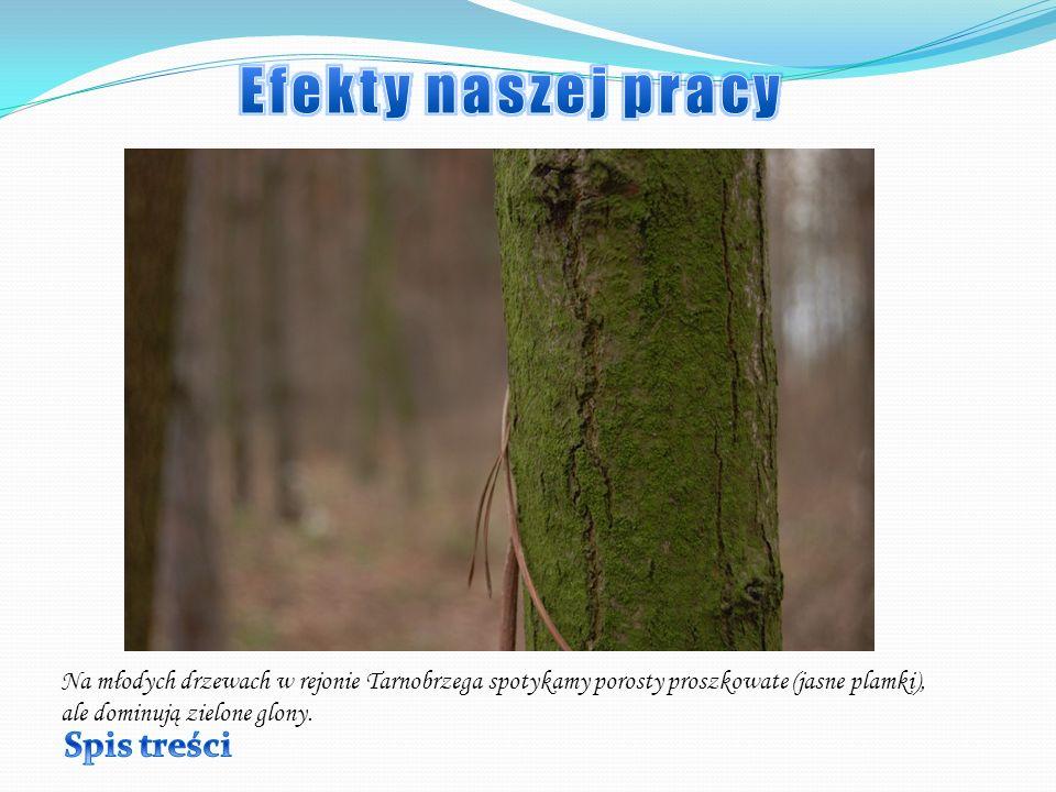 Na młodych drzewach w rejonie Tarnobrzega spotykamy porosty proszkowate (jasne plamki), ale dominują zielone glony.