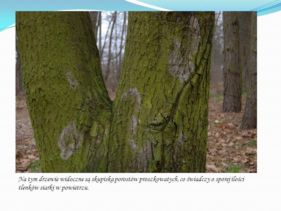 Na tym drzewie widoczne są skupiska porostów proszkowatych, co świadczy o sporej ilości tlenków siarki w powietrzu.