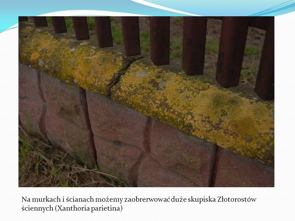 Na murkach i ścianach możemy zaobrerwować duże skupiska Złotorostów ściennych (Xanthoria parietina)