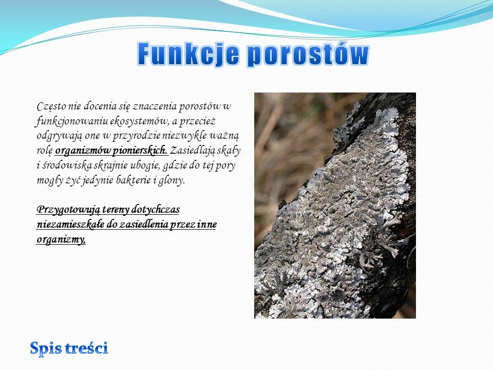 Na tym zdjęciu widzimy Pustułkę pęcherzykowatą (Hypogymnia physodes) i Złotorosta ściennego (Xanthoria parietina).