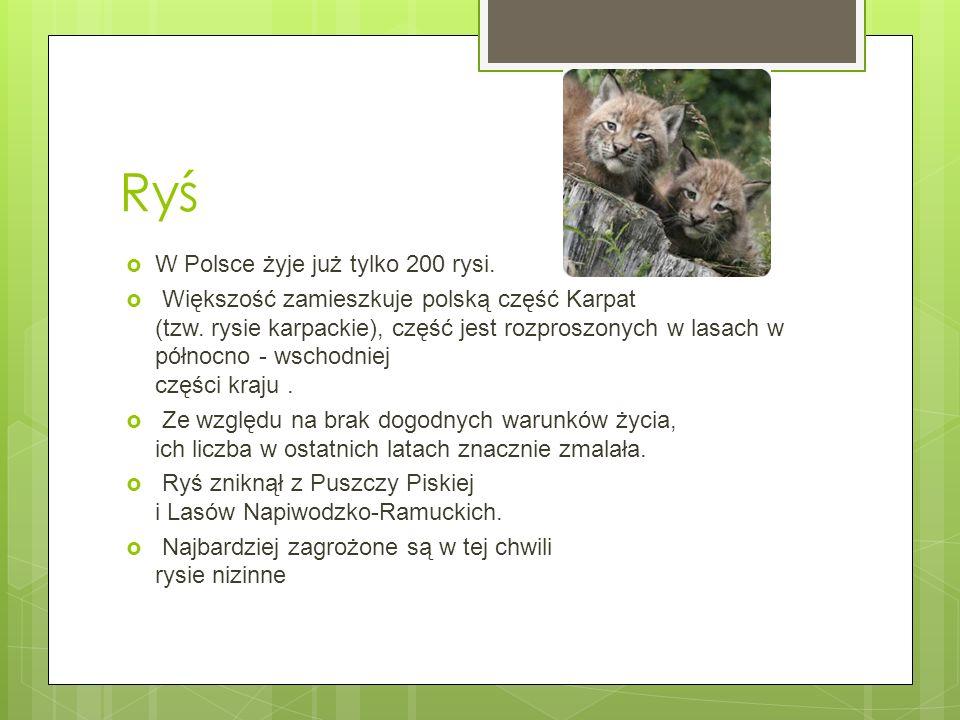 Ryś W Polsce żyje już tylko 200 rysi. Większość zamieszkuje polską część Karpat (tzw. rysie karpackie), część jest rozproszonych w lasach w północno -
