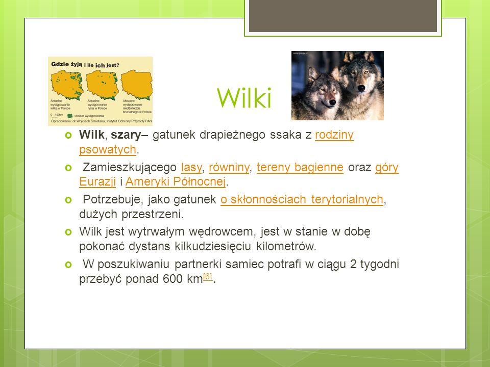 Wilki Wilk, szary– gatunek drapieżnego ssaka z rodziny psowatych.rodziny psowatych Zamieszkującego lasy, równiny, tereny bagienne oraz góry Eurazji i