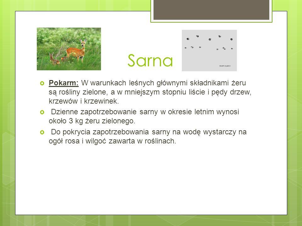 Sarna Pokarm: W warunkach leśnych głównymi składnikami żeru są rośliny zielone, a w mniejszym stopniu liście i pędy drzew, krzewów i krzewinek. Dzienn