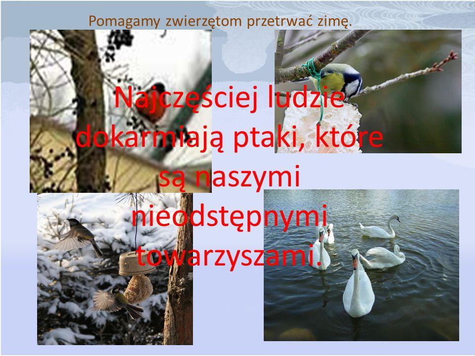 Pomagamy zwierzętom przetrwać zimę. Najczęściej ludzie dokarmiają ptaki, które są naszymi nieodstępnymi towarzyszami.