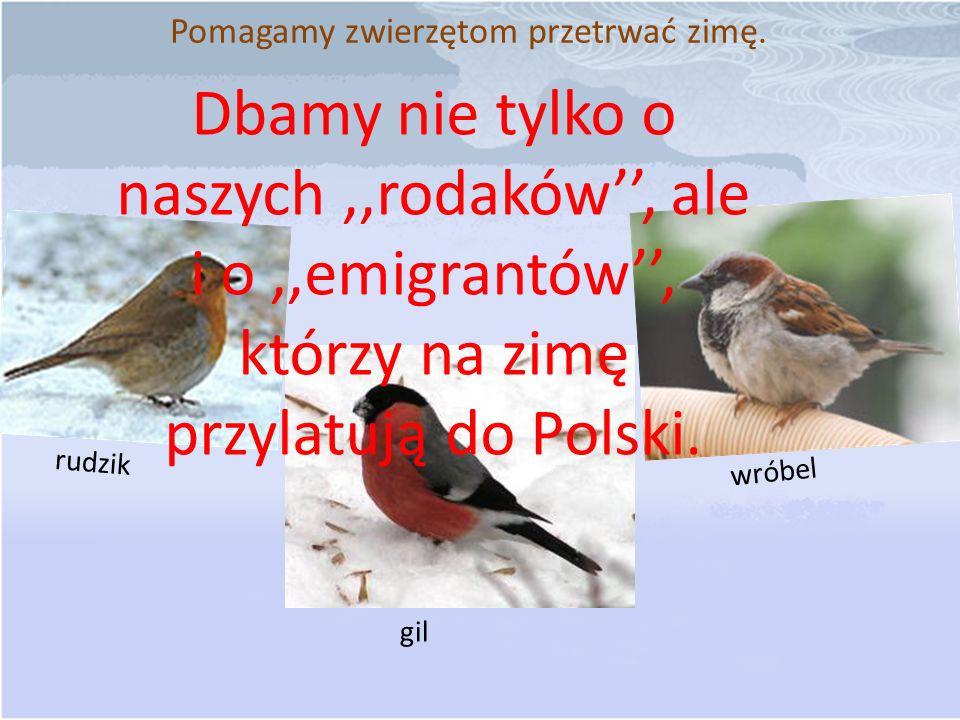 Pomagamy zwierzętom przetrwać zimę. Dbamy nie tylko o naszych,,rodaków, ale i o,,emigrantów, którzy na zimę przylatują do Polski. wróbel rudzik gil