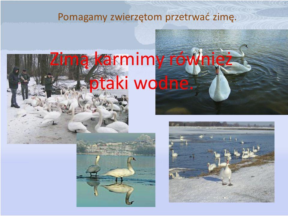 Pomagamy zwierzętom przetrwać zimę. Zimą karmimy również ptaki wodne.
