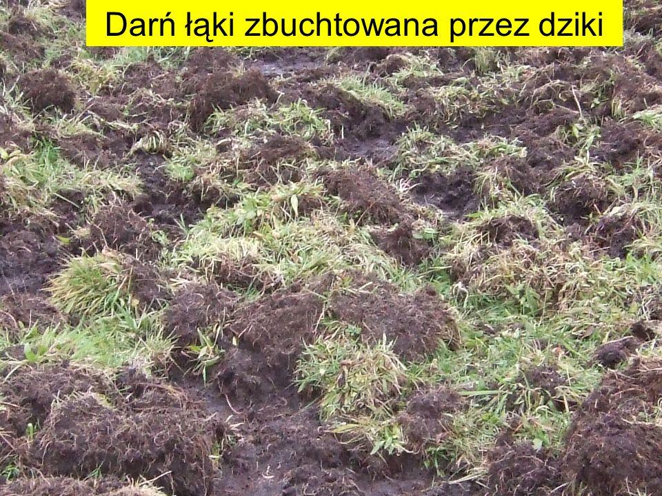 Darń łąki zbuchtowana przez dziki
