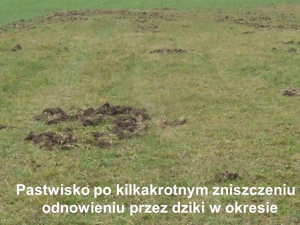 Pastwisko po kilkakrotnym zniszczeniu i odnowieniu przez dziki w okresie luty - listopad 2007