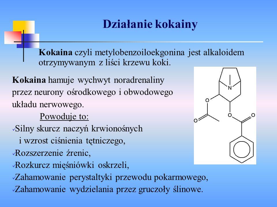 Działanie kokainy Kokaina czyli metylobenzoiloekgonina jest alkaloidem otrzymywanym z liści krzewu koki. Kokaina hamuje wychwyt noradrenaliny przez ne