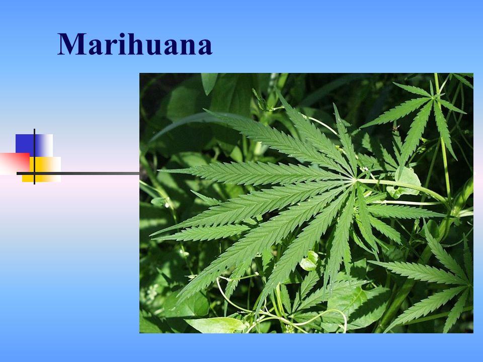 dżoint, skręt, blant, ziele, zielsko, zioło, grass, marycha, trawa, hasz, maryśka, skun, gandzia, samosieja, afgan, kolumbijka Slangowe nazwy marihuany