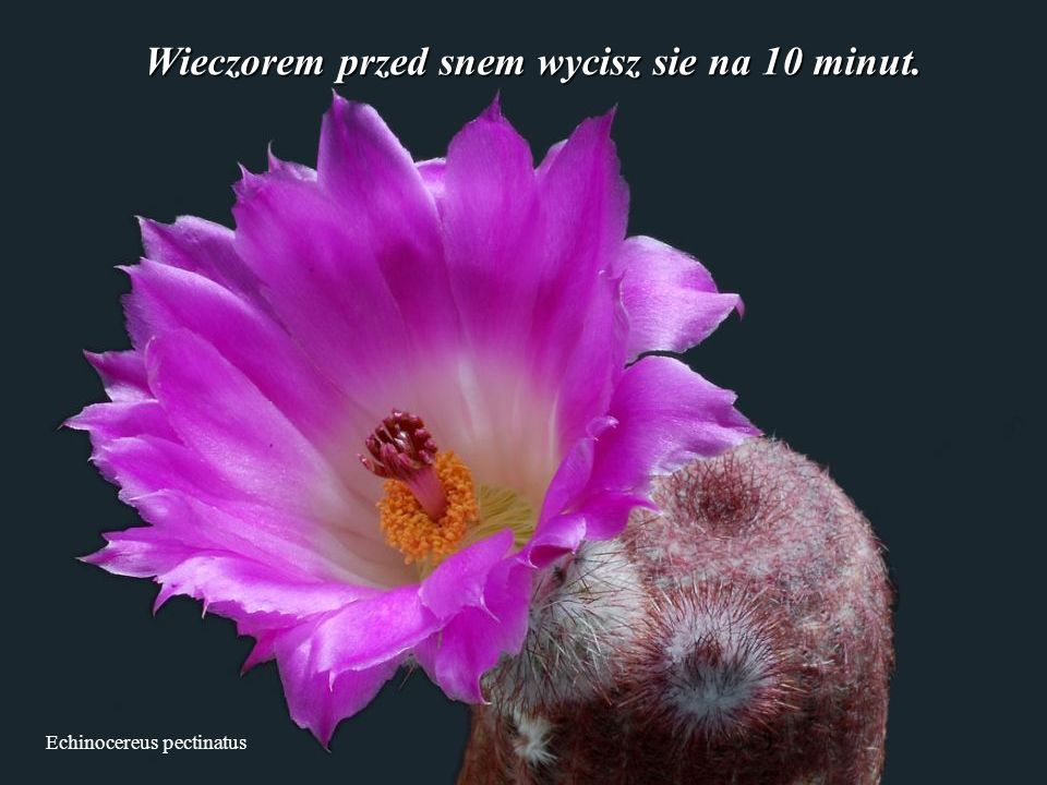 Echinocereus pectinatus Wieczorem przed snem wycisz sie na 10 minut.