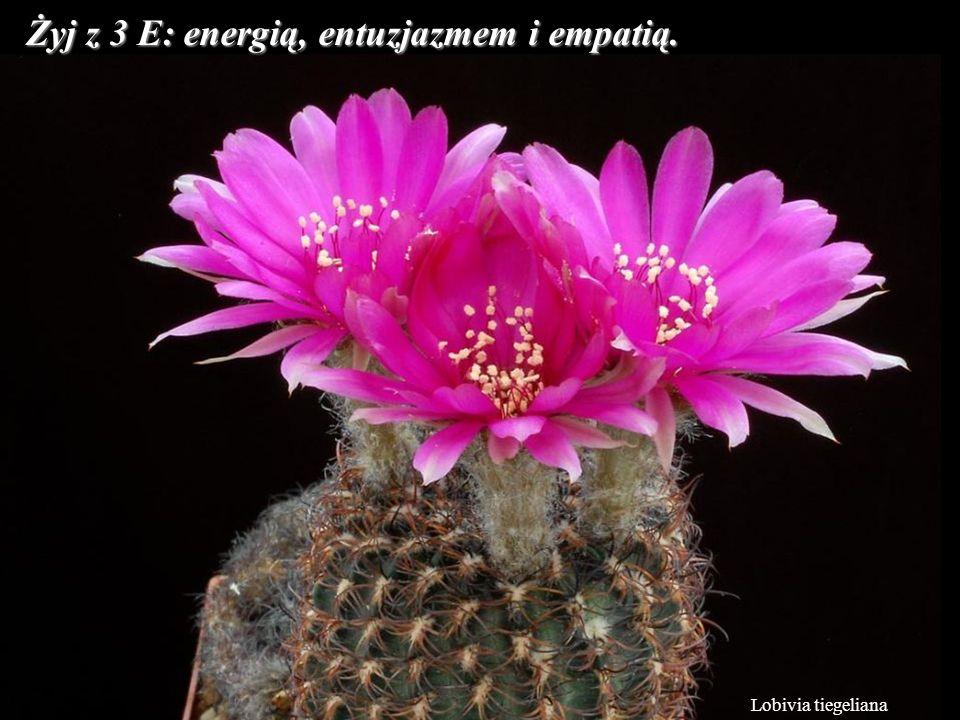 Lobivia tiegeliana Żyj z 3 E: energią, entuzjazmem i empatią.